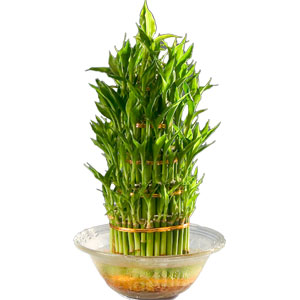 Special Three Tier Bamboo Plant in a Bowl to India.