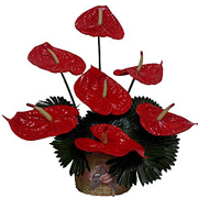 Extravagant Long Lasting Red Anthurium Flowers