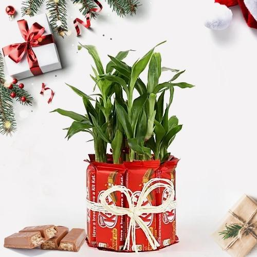 Marvelous Lucky Bamboo Plant with Kitkat Arrangement
