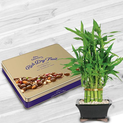 Fantastic Combo of Lucky Bamboo Plant with Cadbury Dry-fruit Tin