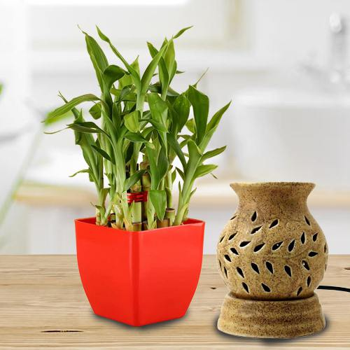 Lovely Lucky Bamboo Plant in Plastic Pot N Aroma Diffuser