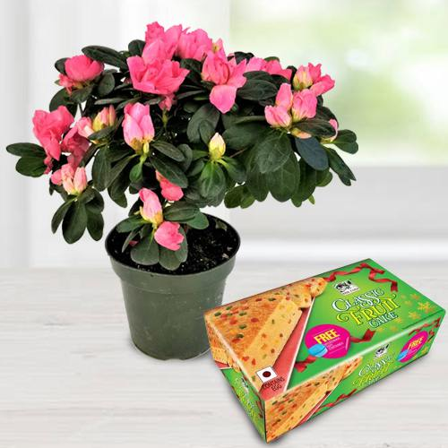Agelia Flowering Potted Plant N Bisk Farms Classic Fruit Cake Gift Combo