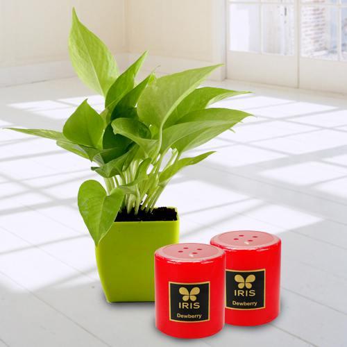 Exquisite Money Plant in Plastic Pot N Iris Aroma Pillar Candle