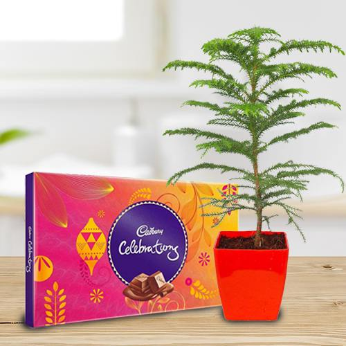 Exquisite Araucaria Potted Plant N Cadbury Celebrations Gift Pack