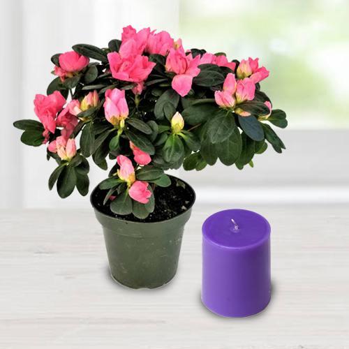 Stunning Agelia Flowering Potted Plant N Iris Aroma Pillar Candle