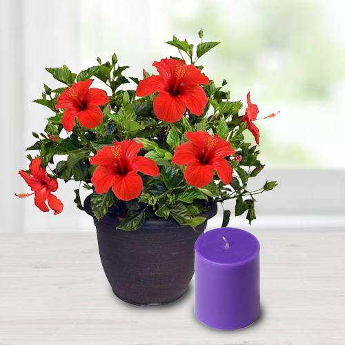 Alluring Hibiscus Potted Plant N Aroma Pillar Candle