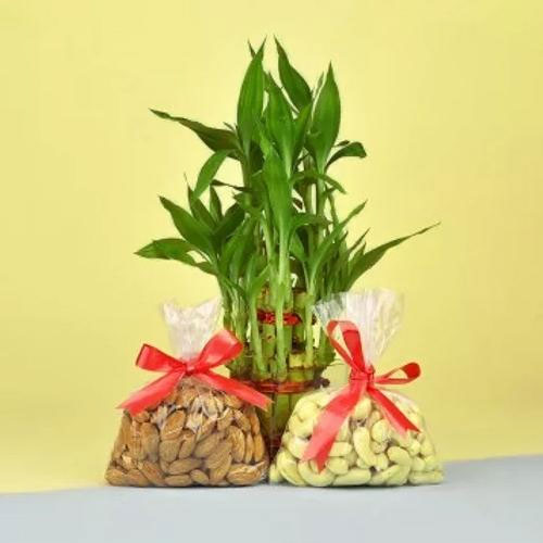 Decorative Lucky Bamboo Plant N Mixed Dry Fruits Pack<br>