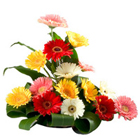 Bouquet of 15 bright Gerberas