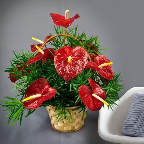 Beautiful Basket of Hearty Red Anthodiums