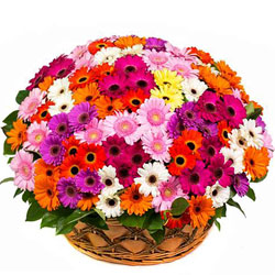 Gorgeous 150 Multi-hued Gerberas Basket