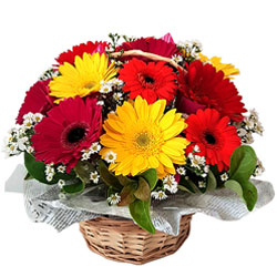 Multicolored Gerberas display in a Basket