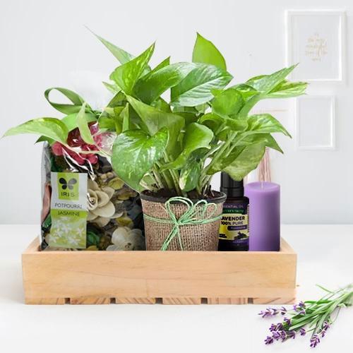 Lovely Money Plant n Aromatic Diffuser Gift Hamper for Mom