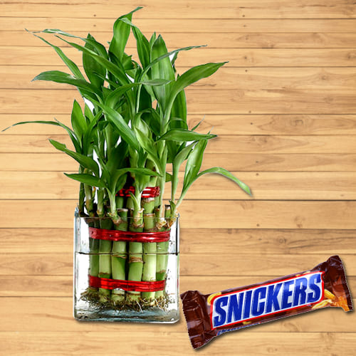 Fast-Growing Two Layer Bamboo Plant in Pot with Snickers