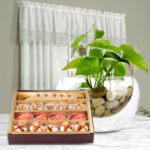 Buy Money Plant in Glass Pot with Haldirams Assorted Sweets