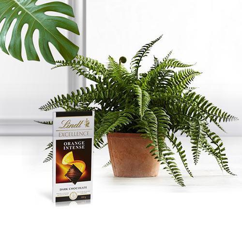 Hue of Green Bostern Fern Live Plant N Chocolate Duo