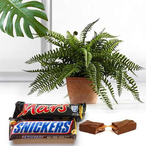 Eye-Catching Collection of Bostern Fern Plant with Chocolates
