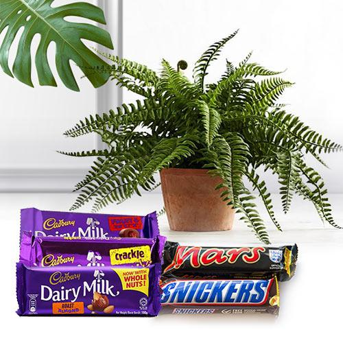 Assorted Chocolate Gift Pack with Air Purifying Plant