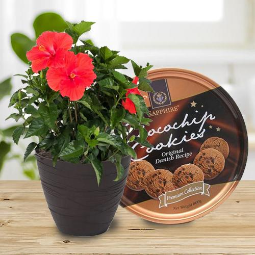 Blooming Present of Tropical Hibiscus Plant with Cookies