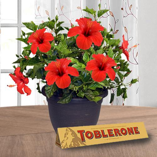 Succulent Hibiscus House Plant N Chocolate Collection