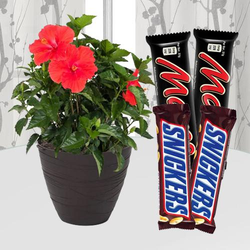 Succulent Hibiscus House Plant N Chocolate Gift Pack