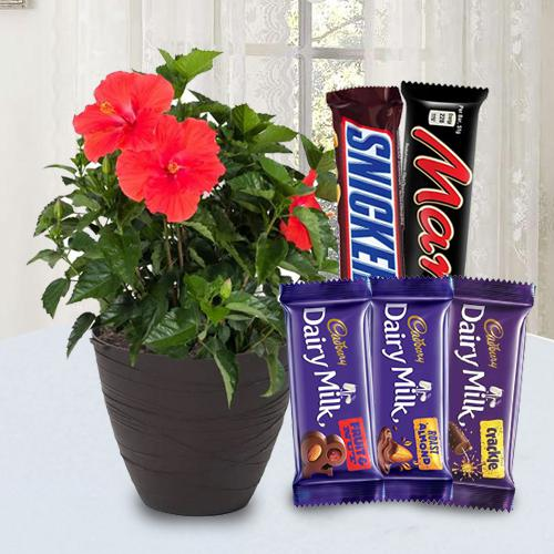Yummy Chocolate Assortment with Potted Hibiscus Plant
