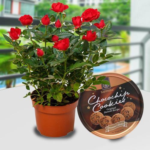 Breathtaking Combo of Flowering Rose Plant N Cookies