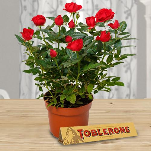 Blossoming Gift of Red Rose Plant with Chocolate Treat
