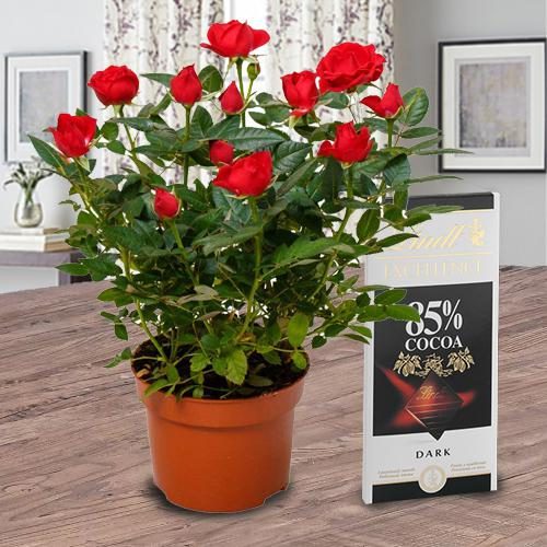 Graceful Red Rose Plant N Chocolate Bar Gift Combo