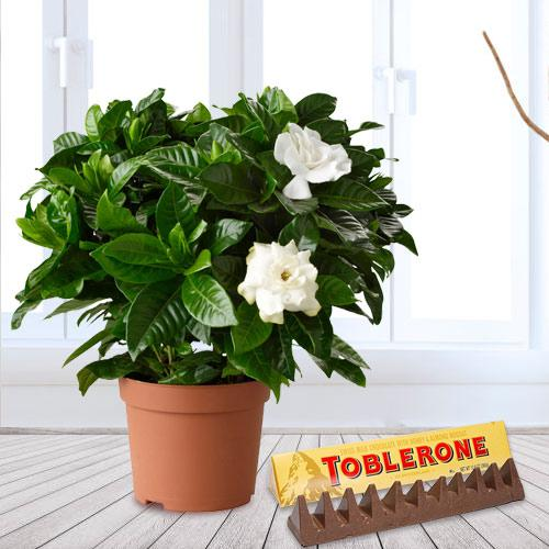 Attractive Dual Gift of Jasmine Plant with Chocolate