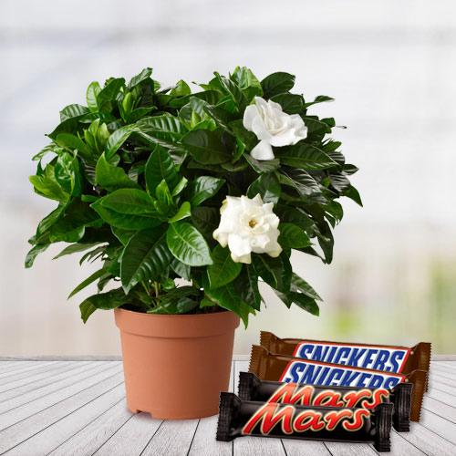Fascinating Gift of Jasmine Plant with Chocolates