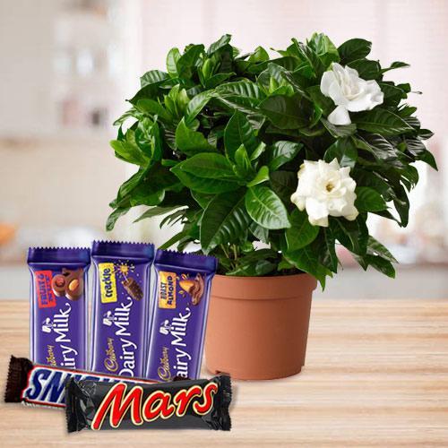 Budding Jasmine Flower Plant with Chocolate Gift Pack
