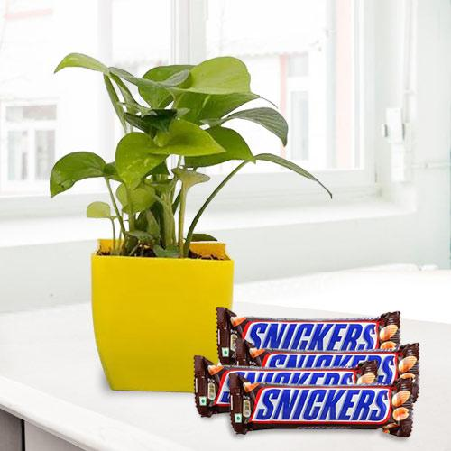 Auspicious Combo of Money Plant with Snickers