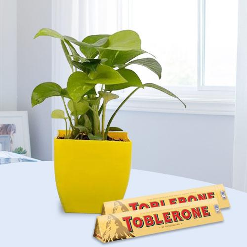 Blooming Gift of Money Plant with Chocolates
