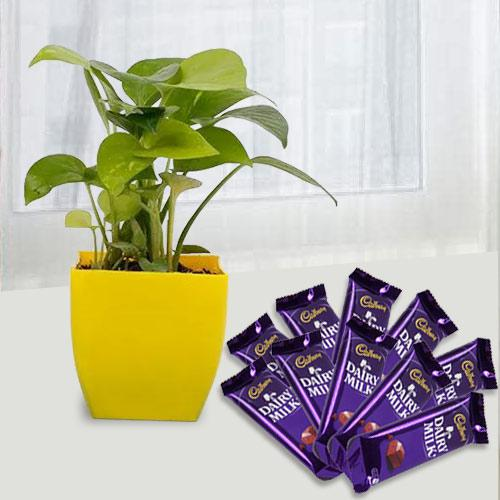 Attractive Gift of Money Plant with Chocolate Treat