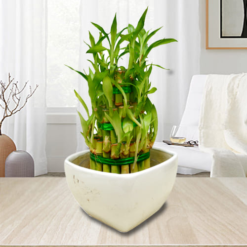 Attractive 3 Tier Good Fortune Bamboo Plant in Ceramic Pot