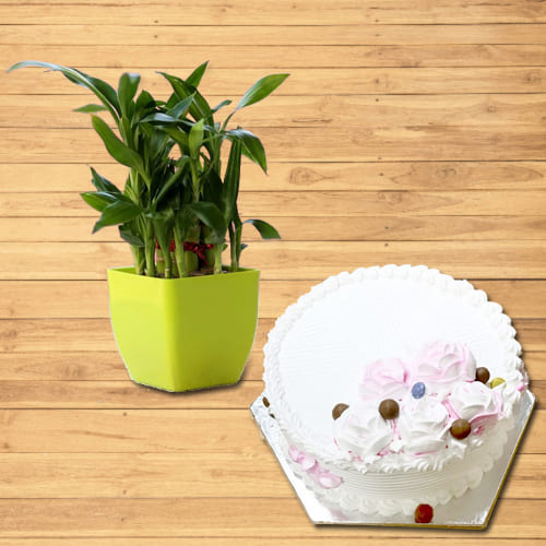 Buy 2 Tier Lucky Bamboo Plant with Vanilla Cake
