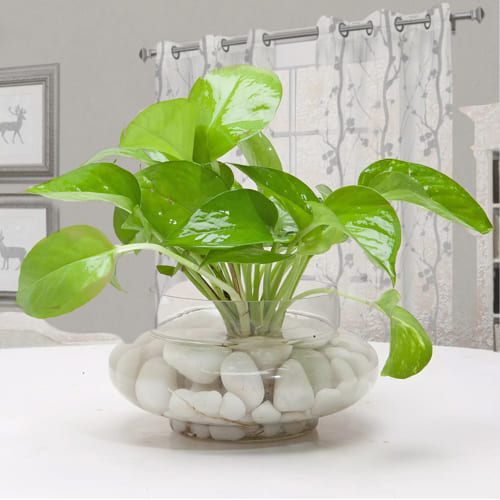 Buy Money Plant in Glass Vase