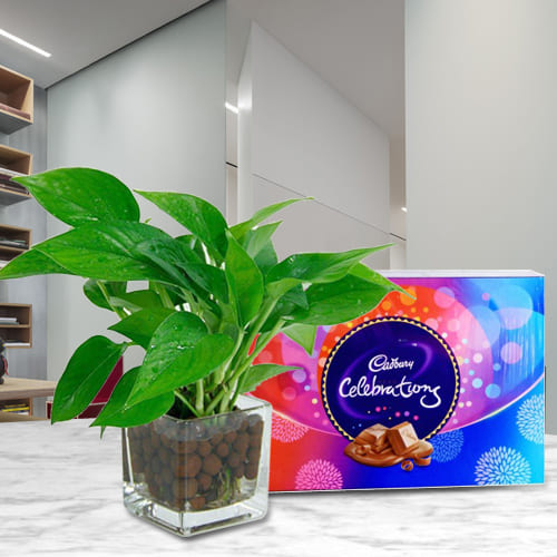 Buy Money Plant in Glass Vase with Cadbury Celebrations Pack