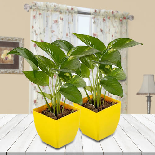Duel Set of Money Plant in Attractive Plastic Pots<br>