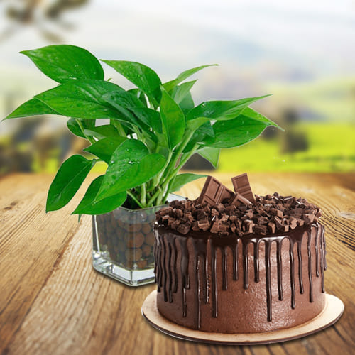 Buy Combo of Money Plant in Glass Pot with Chocolate Cake