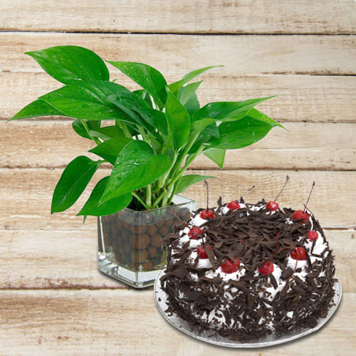 Deliver Money Plant in Glass Pot with Black Forest Cake