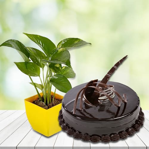 Shop for Money Plant in Plastic Pot with Chocolate Truffle Cake
