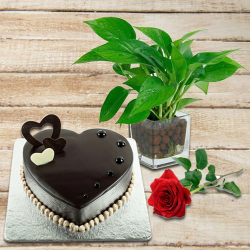 Buy Money Plant in Glass Pot with Chocolate Cake and Red Rose