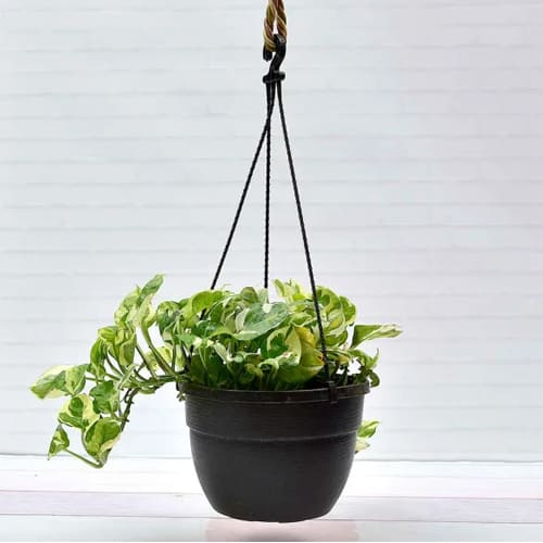 Fast-Growing Hanging Money Plant Indoor Gift