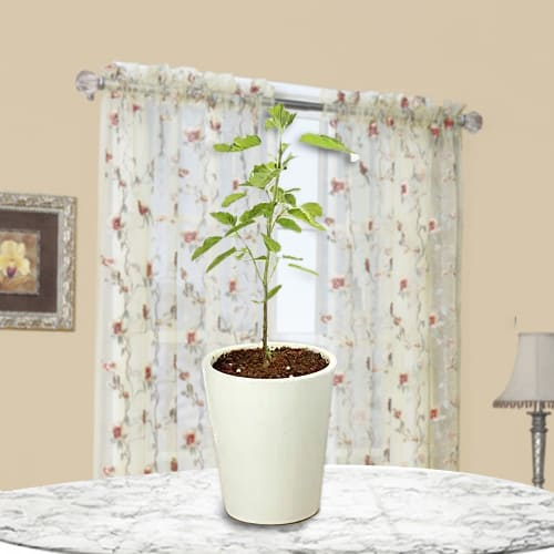 Send Gift of Holy Tulsi Plant in Glass Pot