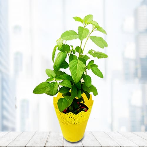 Buy Tulsi Plant in Plastic Pot