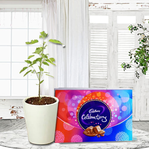Buy Tulsi Plant in Glass Pot with Cadbury Celebrations Pack