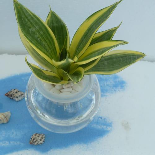 Send Milt Sansevieria Plant in Glass Pot