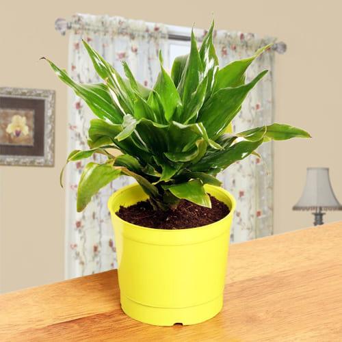 Buy Dracaena Compacta Plant in Plastic Pot