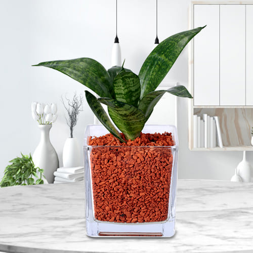 Buy Dracaena Compacta Air Purifying Plant in Glass Pot